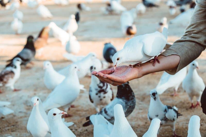 Положение питания еды голубя на человеческой руке Женщина кормит голубей стоковые изображения