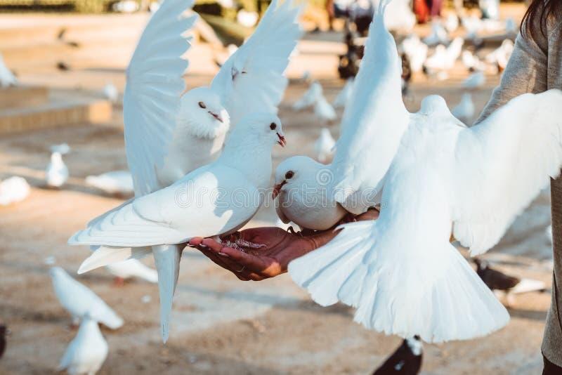 Положение питания еды голубя на человеческой руке Женщина кормит голубей стоковое фото rf