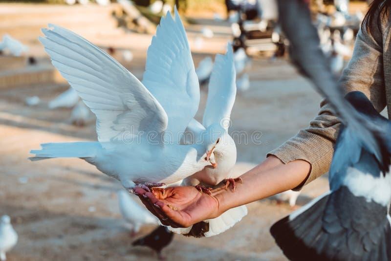 Положение питания еды голубя на человеческой руке Женщина кормит голубей стоковое изображение