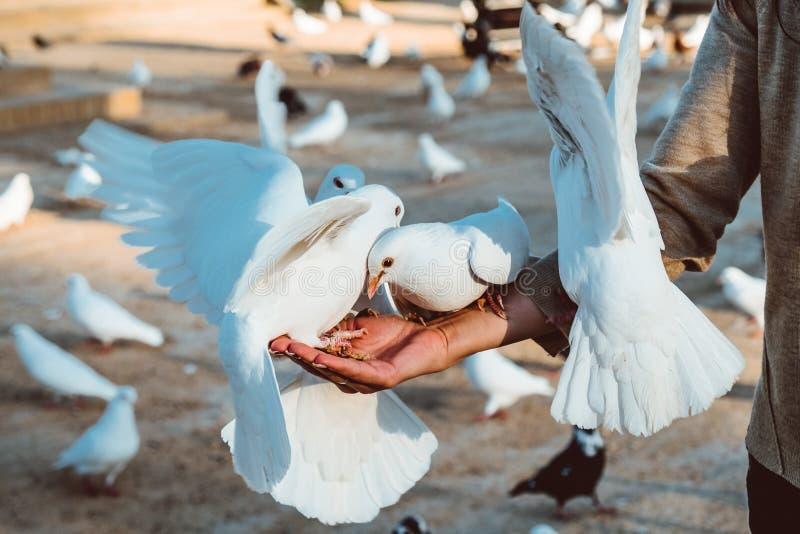Положение питания еды голубя на человеческой руке Женщина кормит голубей стоковая фотография rf