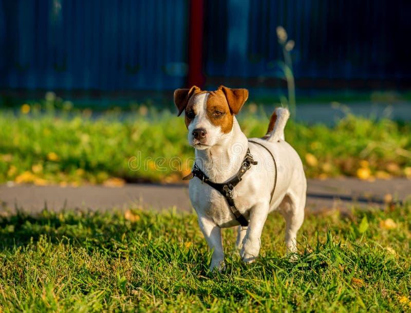 Положение проводки собаки терьера Джек Рассела нося на зеленой траве с желтыми листьями стоковое фото rf