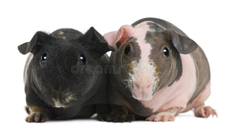 положение свиньи гинеи безволосое стоковое изображение