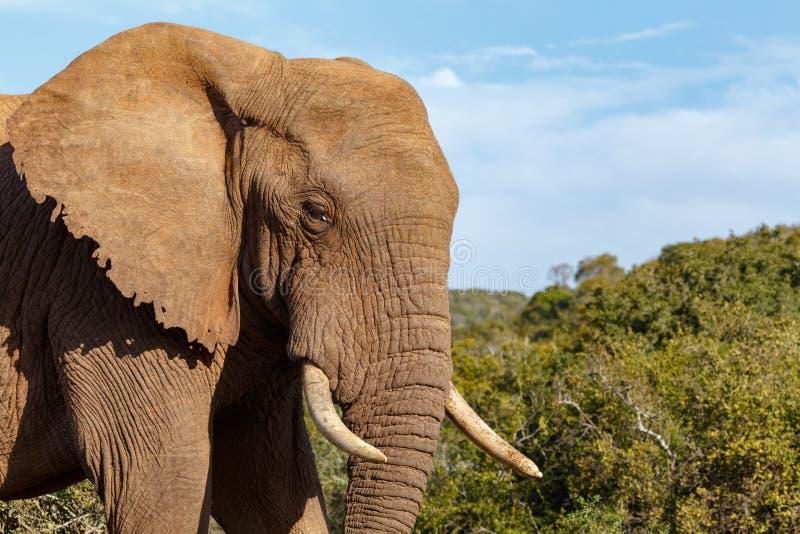 Положение слона гордое и смотря вас стоковое фото