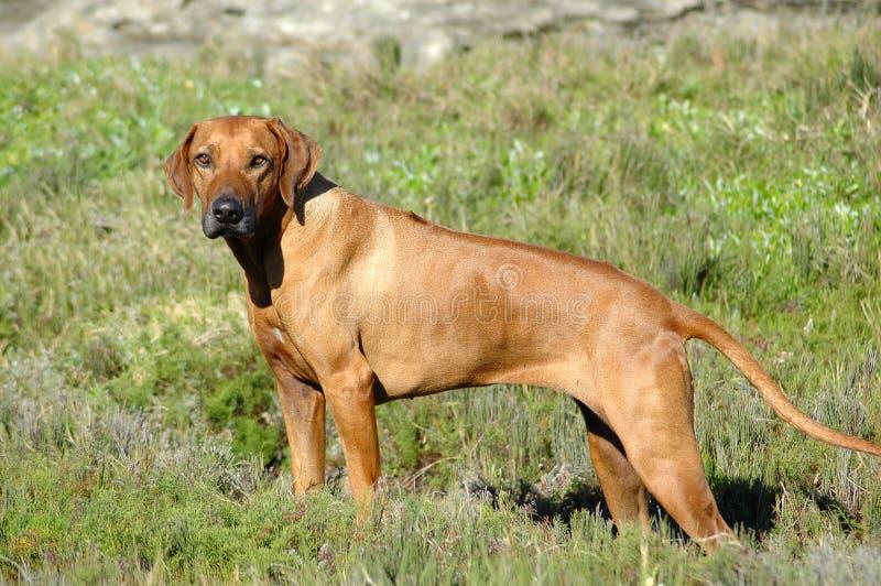 положение собаки стоковое изображение rf