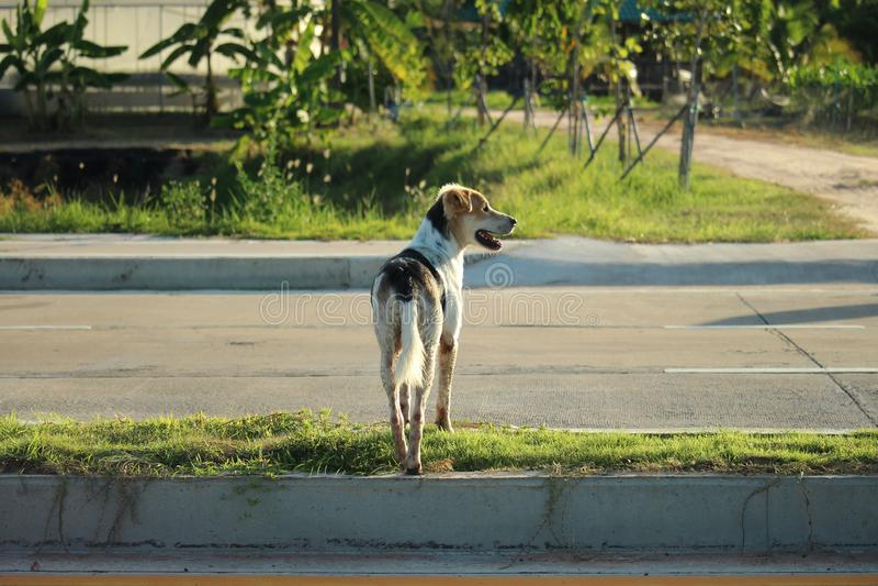 Положение тайского промежутка времени и черной собаки на островке безопасности | Тайская собака стоковые изображения