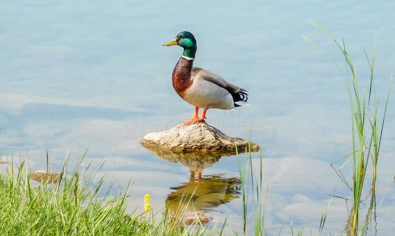 Положение утки кряквы на камне в озере стоковые изображения rf