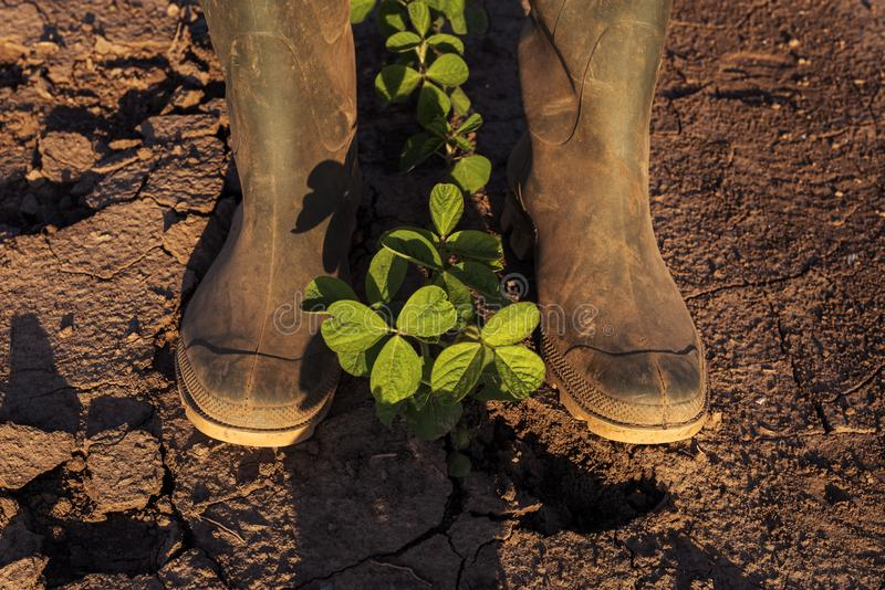 Положение фермера над молодыми заводами сои стоковые изображения
