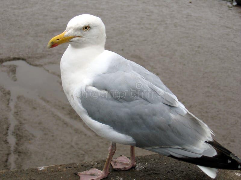 положение чайки Стоковые Фото