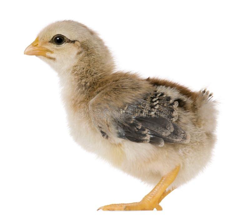 положение 15 дней цыпленока старое стоковые изображения