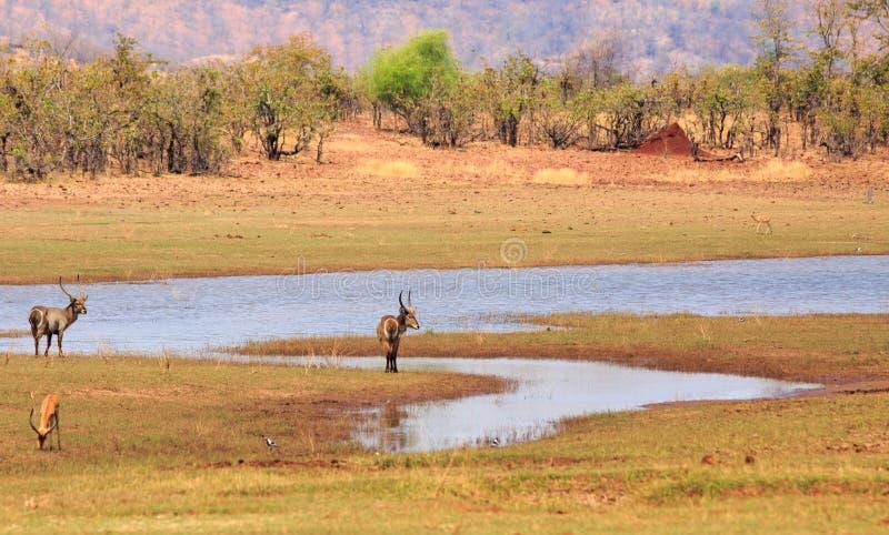 Положение 2 Defasse Waterbuck рядом с озером Kariba со сценарной предпосылкой стоковая фотография rf