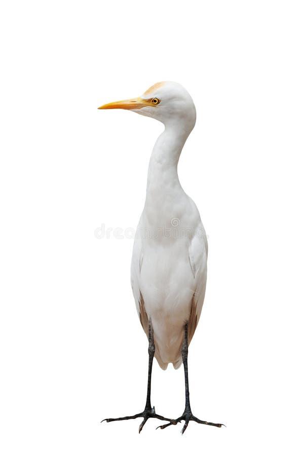 положение egret птицы стоковые фото