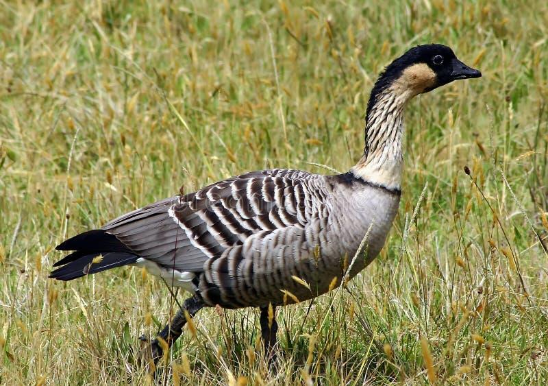 положение nene s Гавайских островов птицы стоковые изображения rf