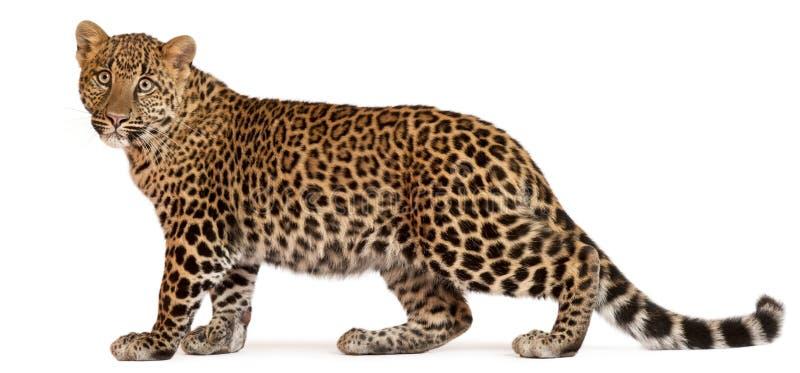 положение pardus panthera леопарда стоковая фотография