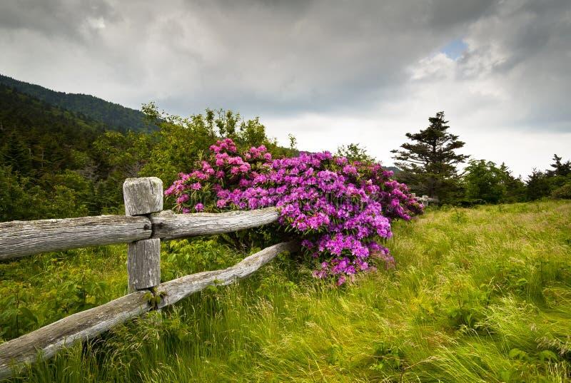 положение roan рододендрона парка горы цветка цветеня стоковая фотография