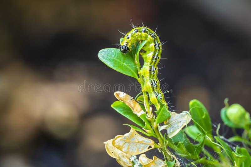 Положите гусеницу в коробку сумеречницы дерева, perspectalis Cydalima, крупный план стоковые фотографии rf