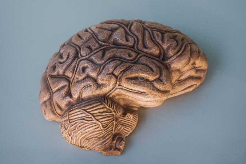 Полусфера мозга, в 3D стоковые изображения rf