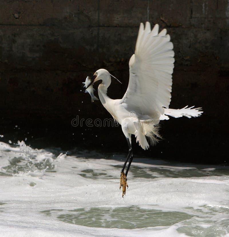 получать рыб egret стоковые изображения rf