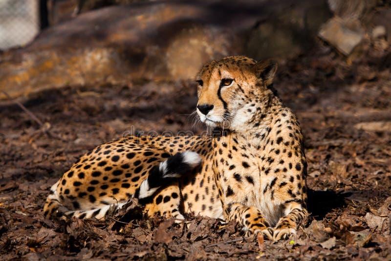 Полученный вверх Яркий красный гепард отдыхающ и смотрящ вниз на вянуть траве в лучах заходящего солнца стоковые изображения
