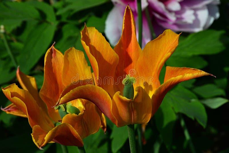 Польностью blossoming желтый тюльпан цветет с красными нашивками на лепестках, гибридном оранжевом императоре во время весеннего  стоковые фотографии rf