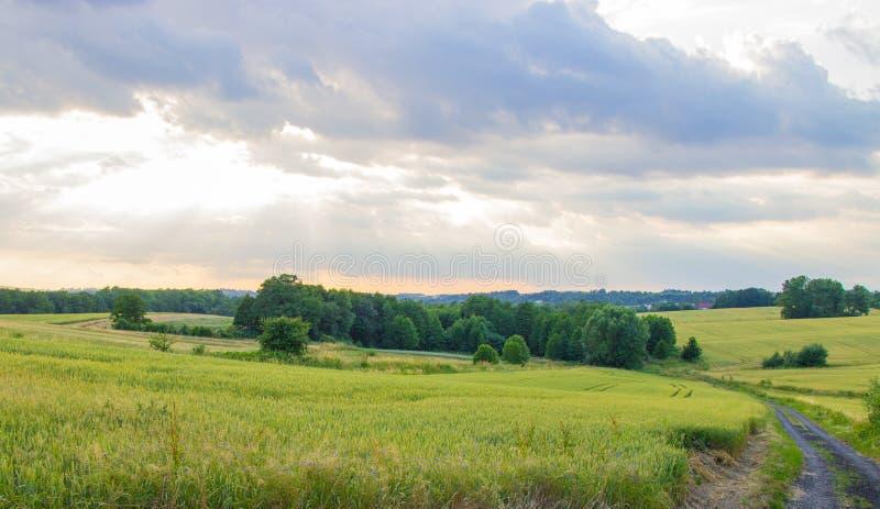 Польские пахотноспособные поля E Зрея хлопья стоковое фото rf