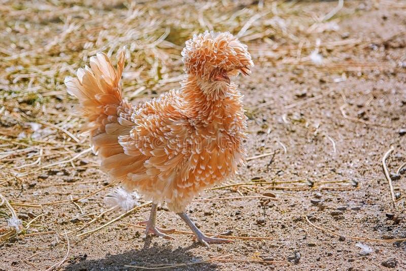 Польский цыпленок во дворе стоковая фотография rf