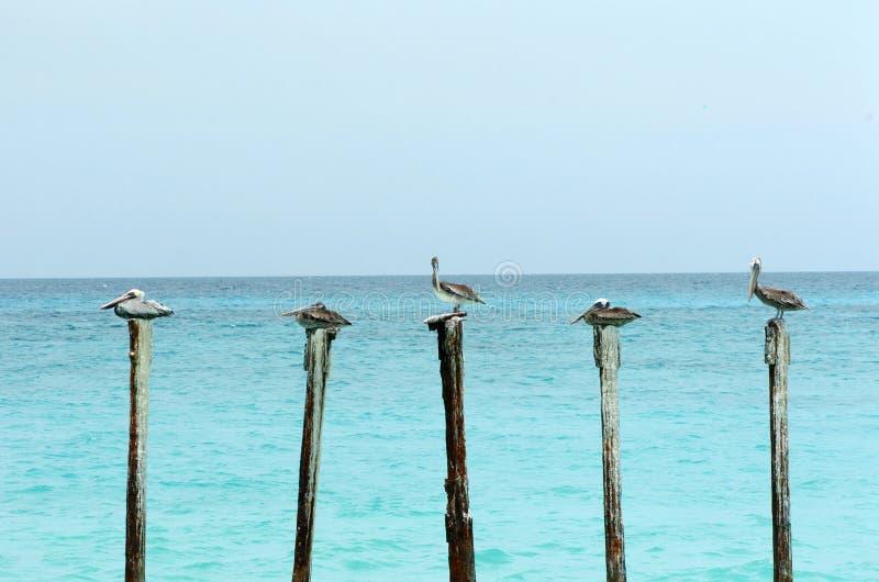 полюсы пеликанов стоковые фотографии rf