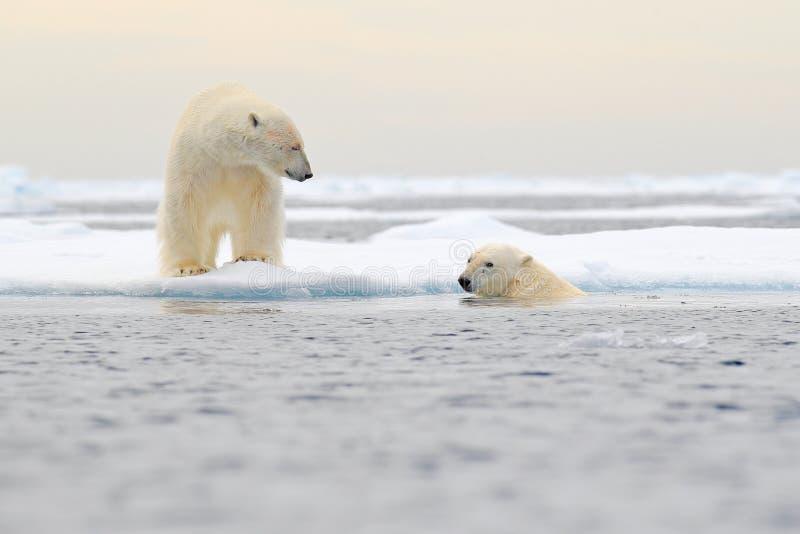 2 полярного медведя ослабленного на перемещаясь льде со снегом, белые животные в среду обитания природы, Свальбарде, Норвегии 2 ж стоковые изображения rf