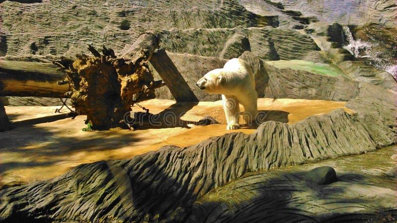 Полярный медведь в ЗООПАРКЕ стоковая фотография