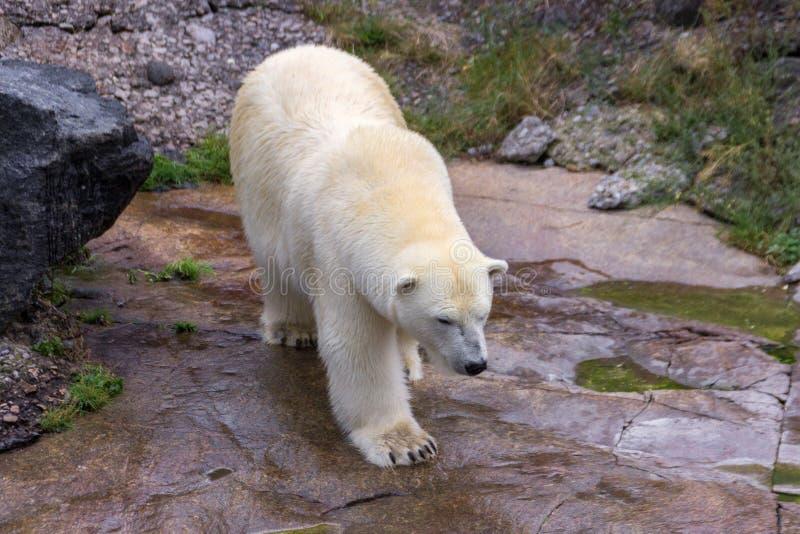 Полярный медведь в севере Канады стоковые изображения rf