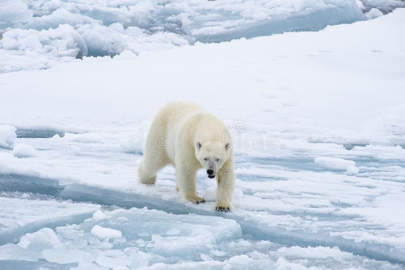 Полярный медведь идя в арктику стоковые изображения
