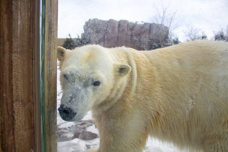 Полярный медведь идя в зоопарк в зиме стоковое фото