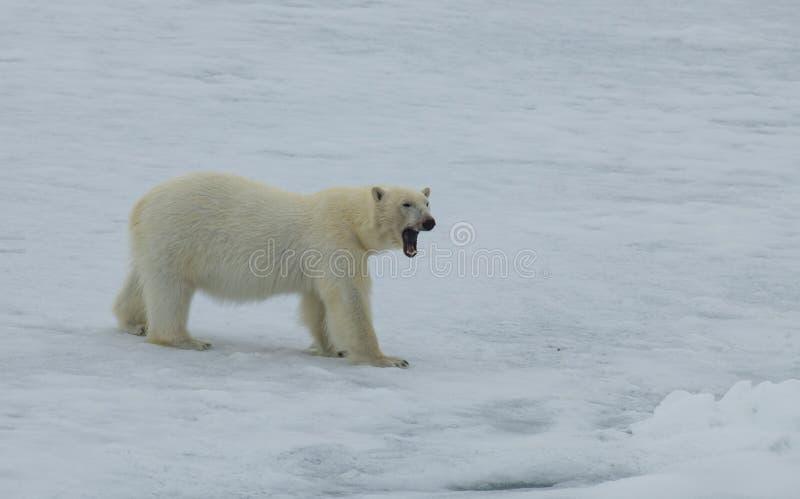 Полярный медведь идя на лед в арктике стоковое изображение