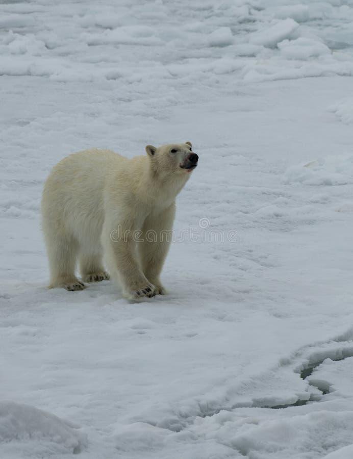 Полярный медведь идя на лед в арктике стоковое фото rf