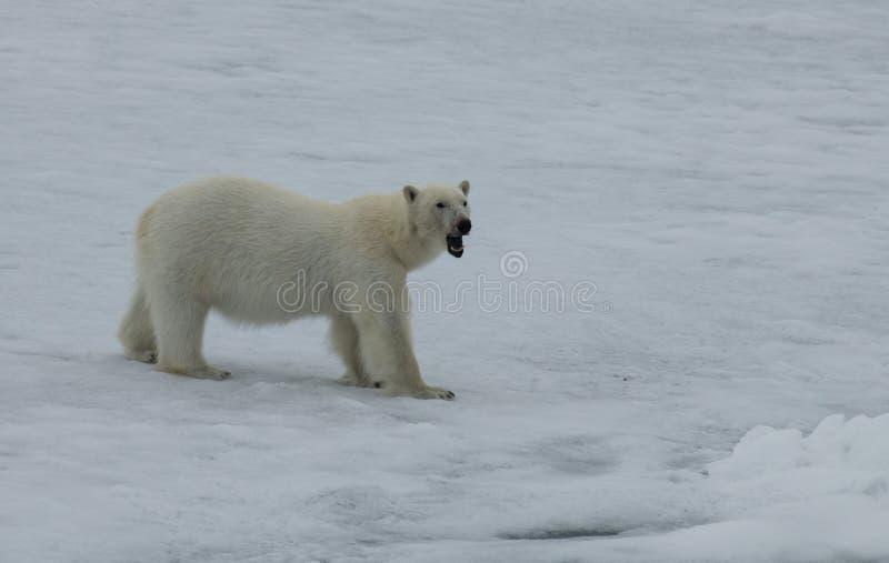 Полярный медведь идя на лед в арктике стоковые фотографии rf