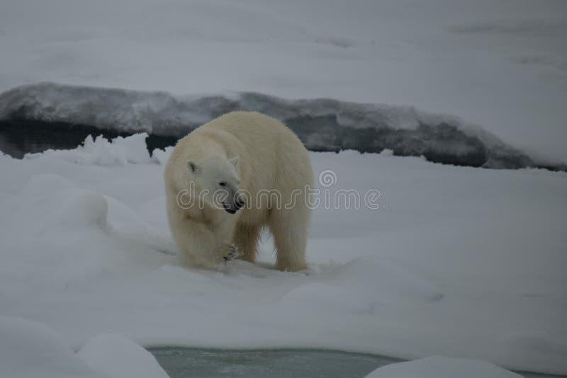 Полярный медведь идя на лед в арктике стоковая фотография rf