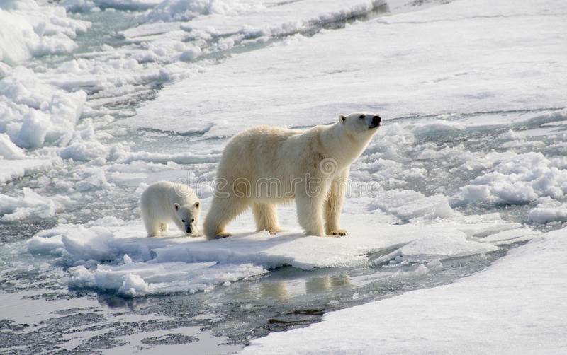 Полярный медведь и новичок
