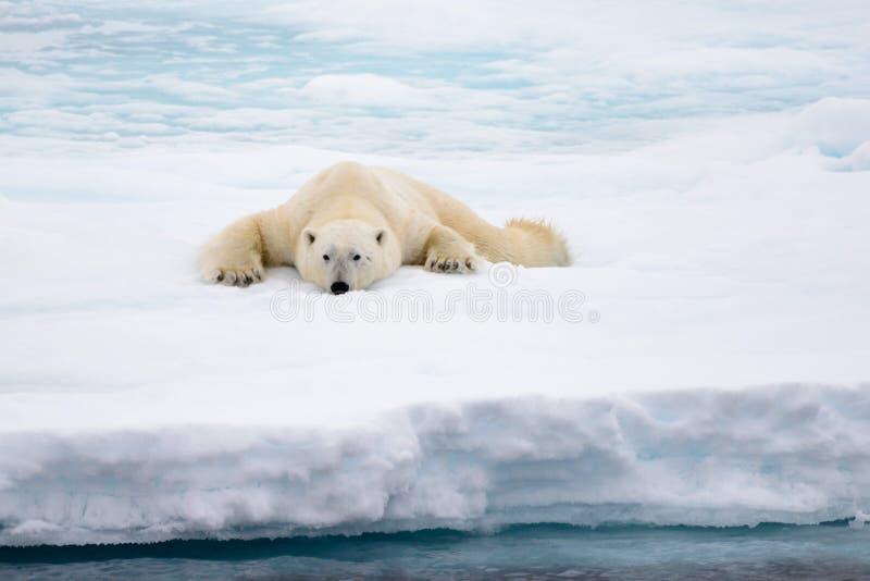Полярный медведь лежа на льде с снегом в арктике стоковые фото