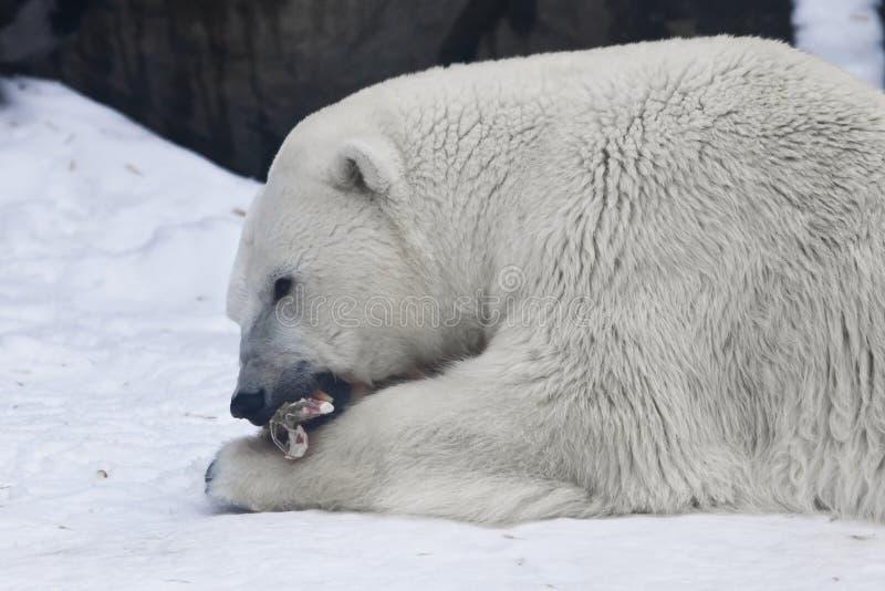 Полярный медведь лежит в снеге и ест часть мяса - природу далекого севера стоковые фотографии rf