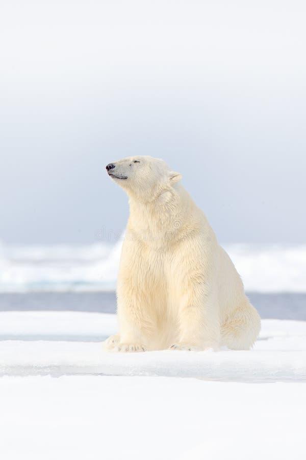 Полярный медведь на крае льда смещения со снегом и воде в море Норвегии Белое животное в среду обитания природы, Европа Сцена жив стоковое фото rf