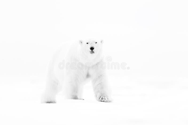 Полярный медведь на крае льда смещения с снегом и воде в русском море Белое животное в среду обитания природы, Европа Сцена живой стоковые фотографии rf