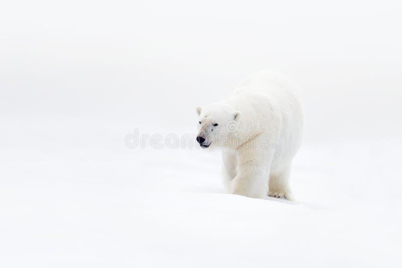 Полярный медведь на льде смещения с снегом, фото ясности белым, большим животным в среду обитания природы, Канадой, одичалой Амер стоковые фотографии rf