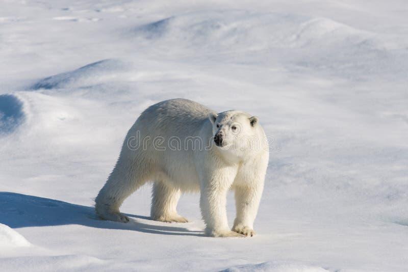 Полярный медведь на паковом льде стоковое фото