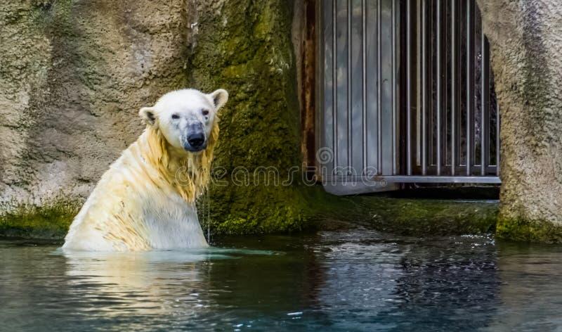 Полярный медведь принимая ванну в воде, уязвимый животный specie от Полярного круга стоковое изображение