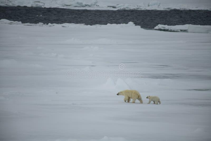Полярный медведь с новичком идя в арктику стоковое изображение rf