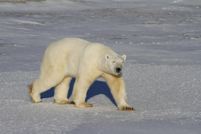 Полярный медведь, Ursus Maritimus, идущ на тундру и снег на солнечный день стоковое изображение
