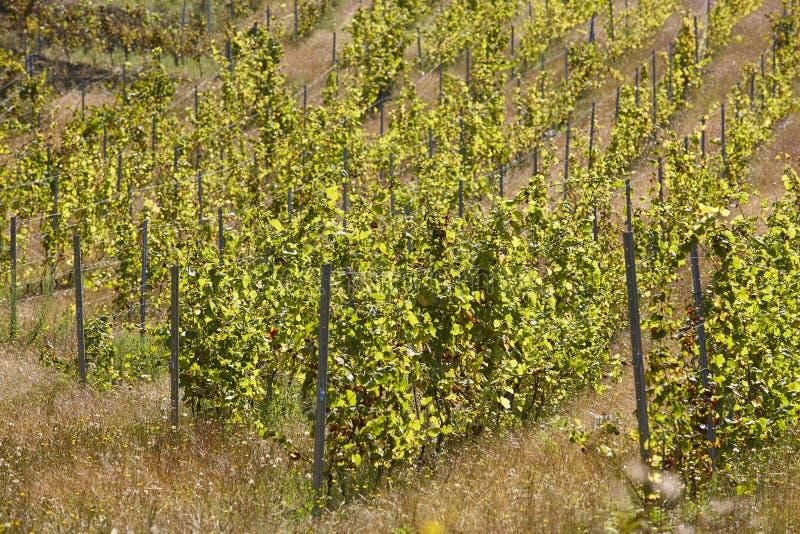 Поля виноградин вина в строках Виноградники в Испании стоковое изображение rf