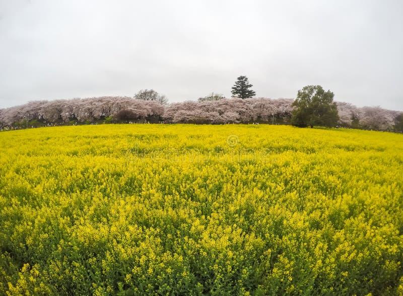 Поля желтого цветя nanohana на Gongendo паркуют в Satte, Saitama, фокусе Japanselective стоковое изображение