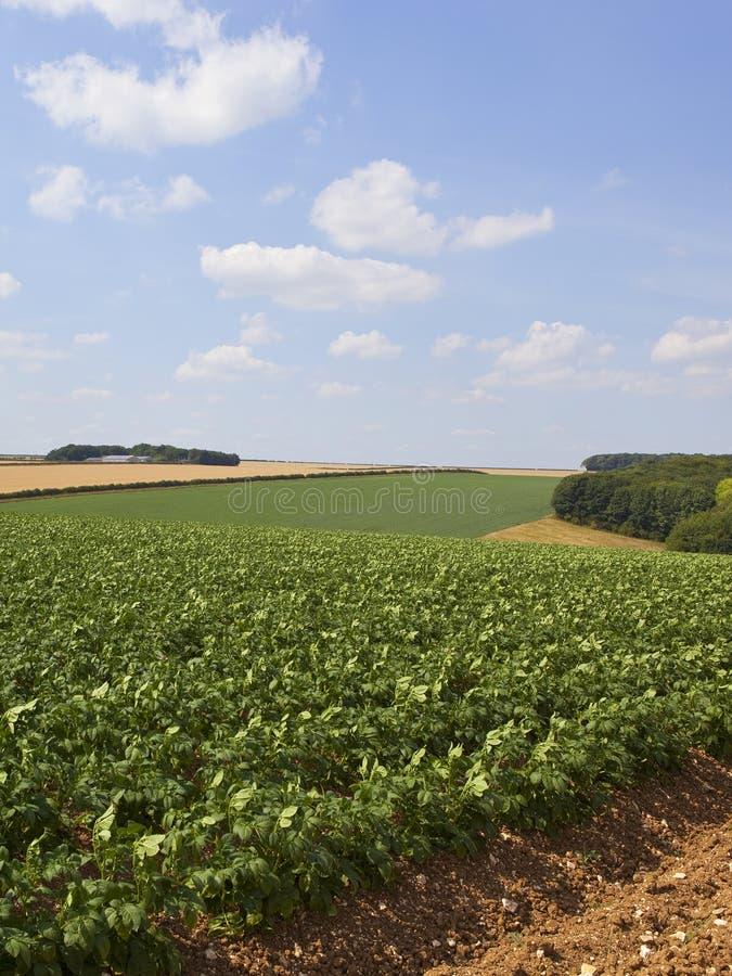 Поля картошки в ландшафте лета заплатки стоковое изображение