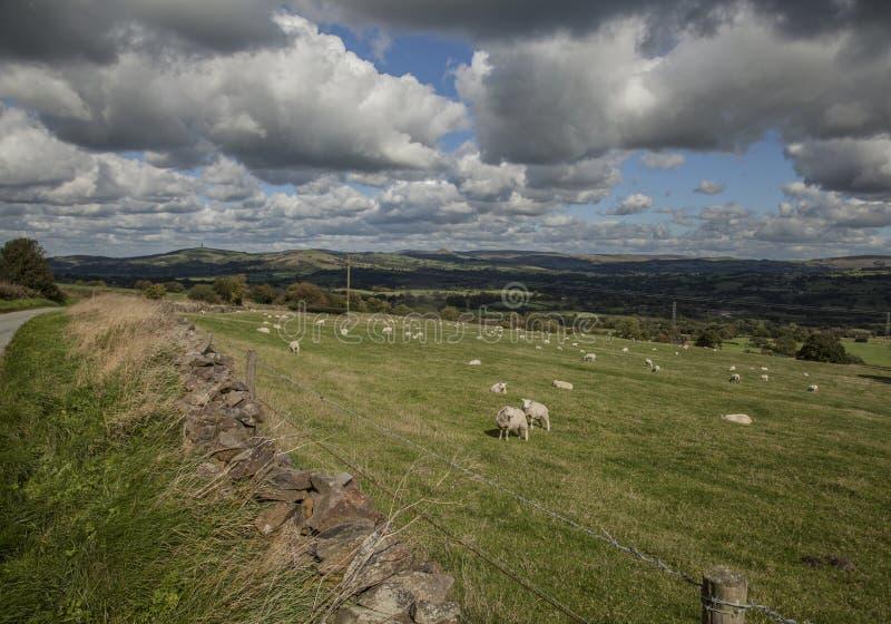 Поля, луга и овцы - лук-порей, Англия стоковые изображения