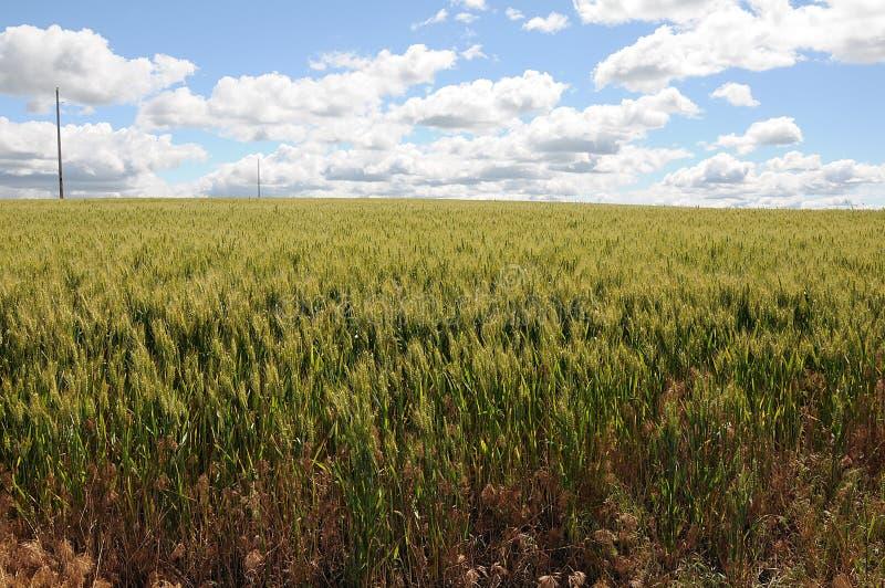 Поля озимой пшеницы стоковые фотографии rf